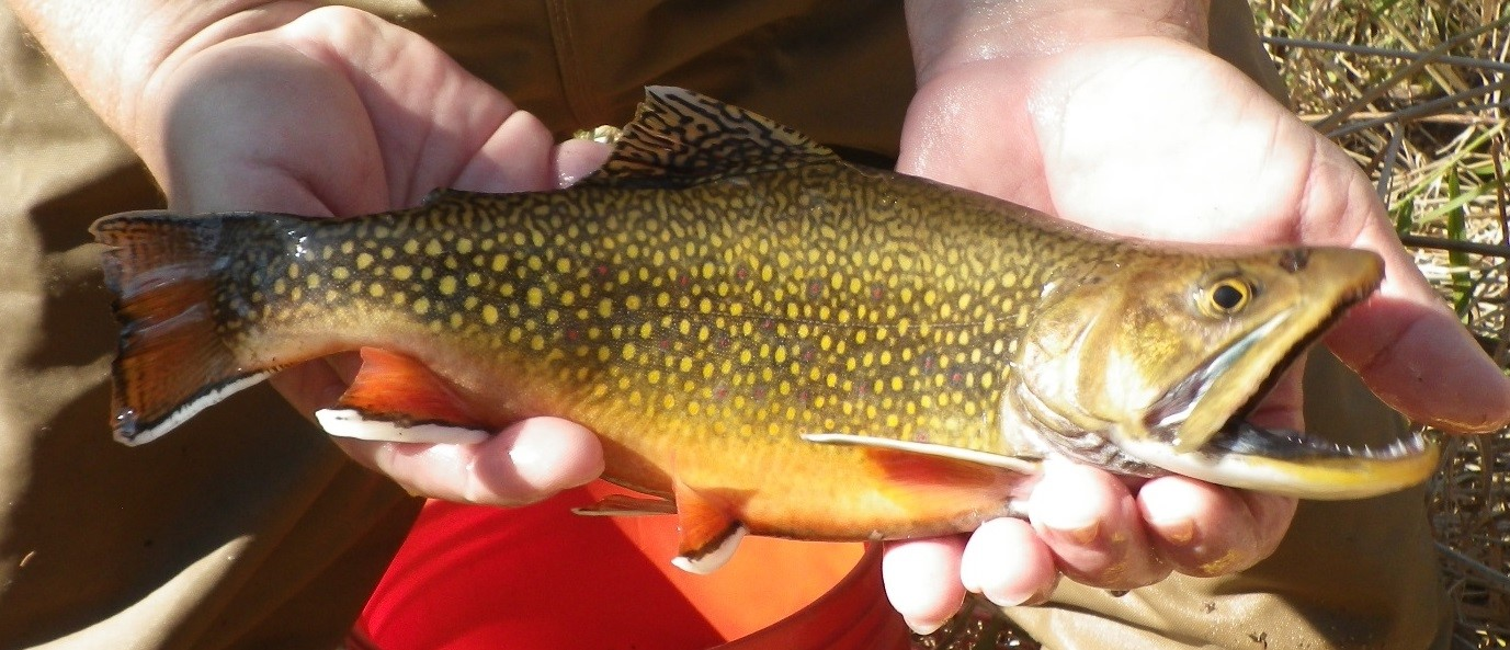 Male Brook Trout from a Driftless Area stream