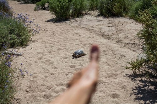 in the foreground a blurry thumb is held up next to a turtle in the distance in a sandy area surrounded by scrubby vegetation